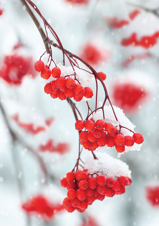 1675 - Red Berries Branded Christmas Card